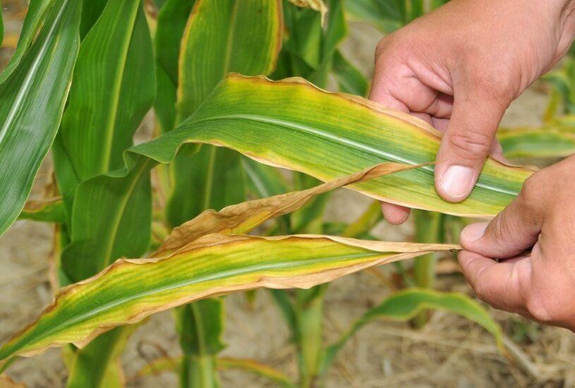дефицит азота у растений
